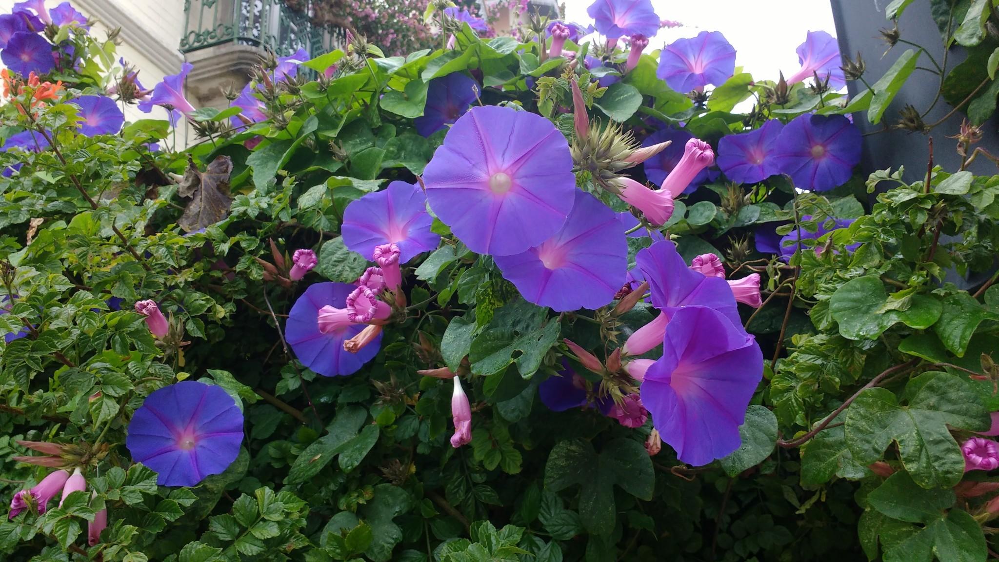 De magnifiques liserons violets plantés aux abords d'une maison de Sintra.