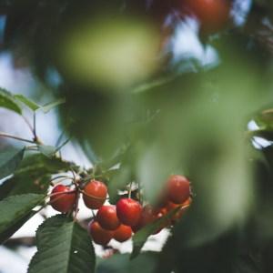 Kirsche Naturfotografie
