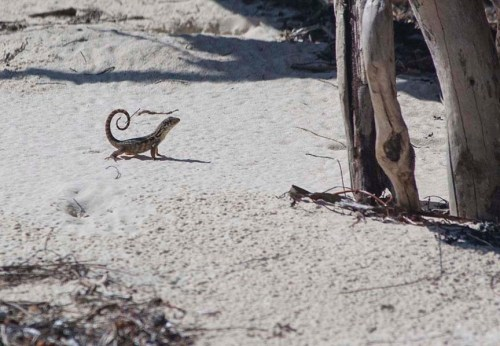 Curly Tailed Lizards