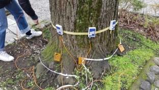 Tomografia sonica effettuata alla base di un tiglio vegetante nel comune di Chiusi (SI) (Gennaio 2019)