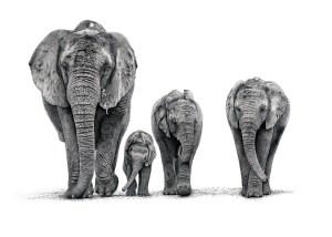 The Studio Art Gallery - African Elephants by Craig Ivor