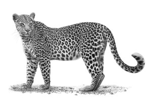 The Studio Art Gallery - African Leopard by Craig Ivor