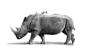 The Studio Art Gallery - White Rhino with Oxpeckers by Craig Ivor
