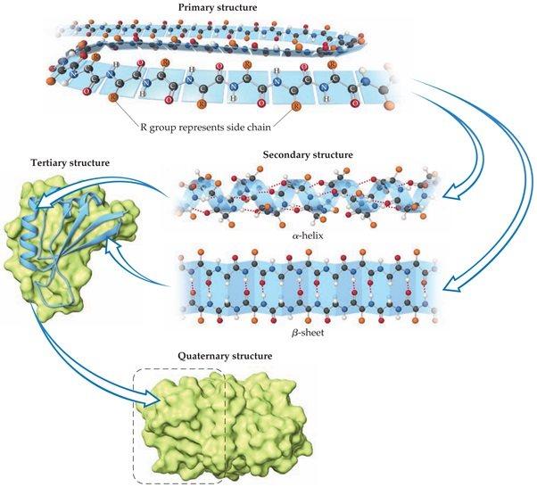 struktur biomolekul protein