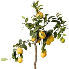 Citrus-plant-on-white-small