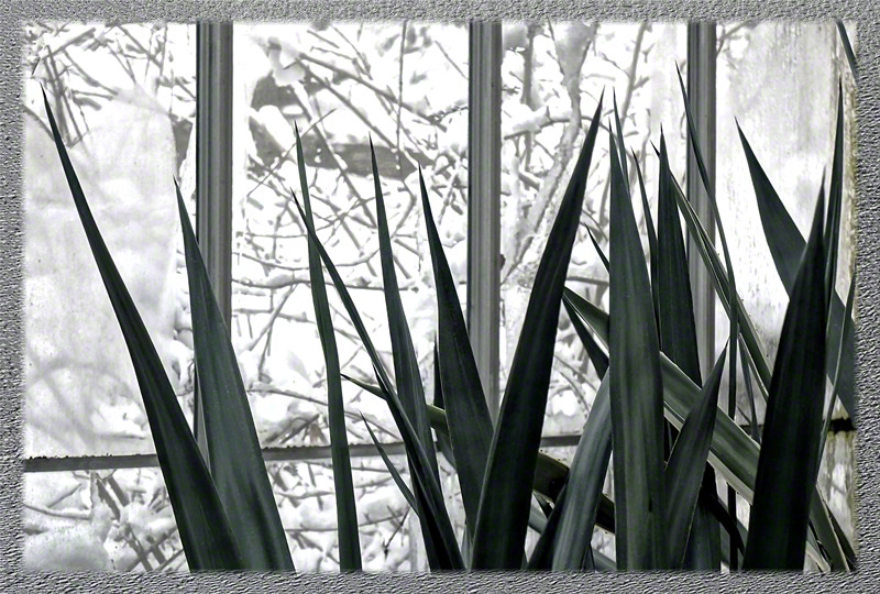 Spikes with Winter Window in Lamberton Conservatory