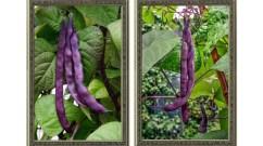Trionfo Violetto  Feature Image