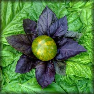 "Featuring a Green Zebra Tomato with Basil ""Red Rubin"" and a background of Lettuce Leaf Basil. The second in the series was also part of a salad at dinner on its creation day."