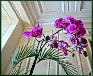 Phalaenopsis sp. with Conservatory Ceiling