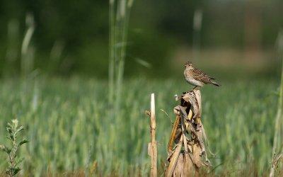 Feuilles vives #22 – «Les oiseaux de nos fermes et de nos vignobles», messagers de la relation ville-campagne
