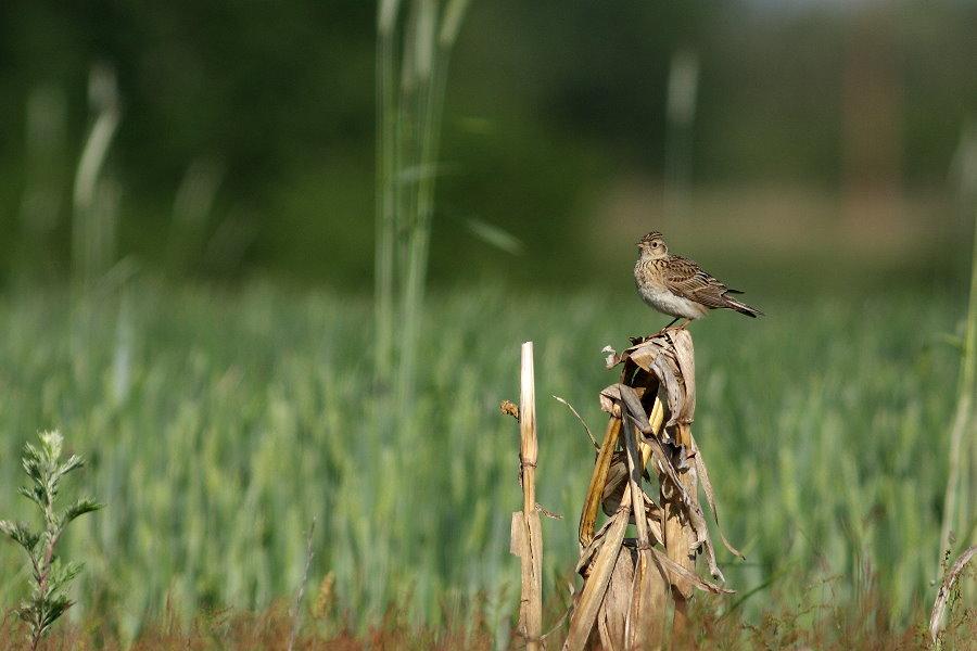 Alouette des champs sur paille de maïs. Crédits photo : Marcin Moga, Creative Commons 2.0