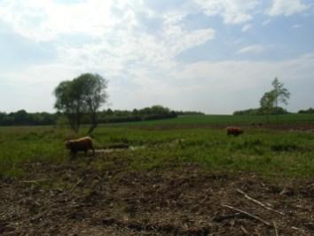 Vaches pâturant la zone humide du moulin Chalot à Averdon. Crédits photo : Nicolas Patissier pour Studio Zef