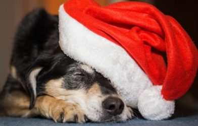 Dog wearing Santa hat for Christmas