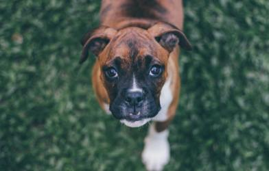 Boxer dog looking at camera
