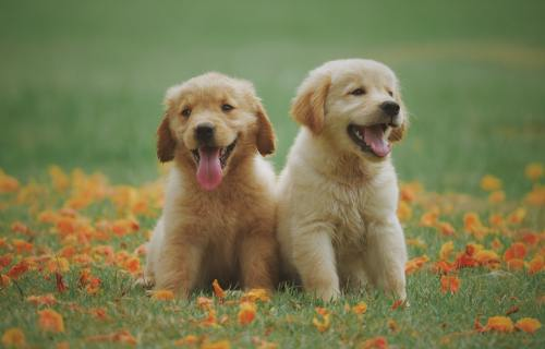 Dogs: Golden Retriever puppies