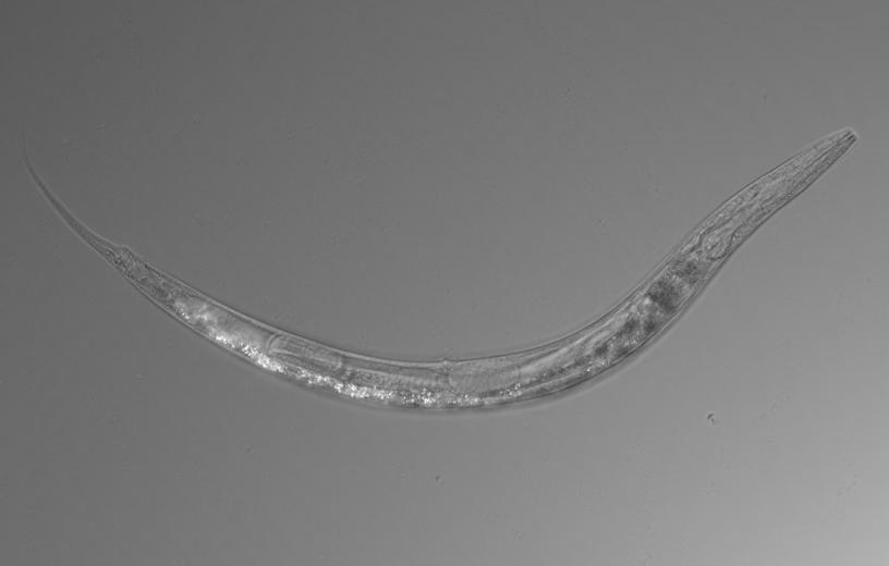 New species of worm found in Mono Lake