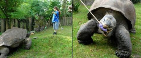 Giant tortoise study