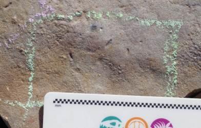Ikaria wariootia fossil