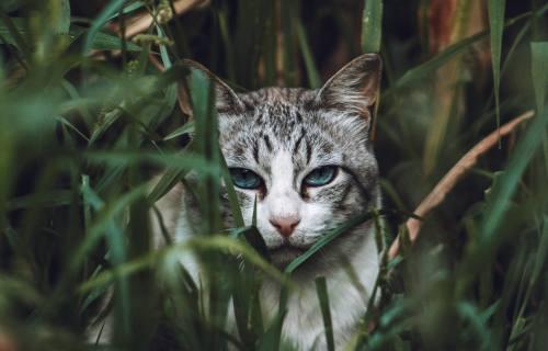 Gray tabby cat hiding in grass