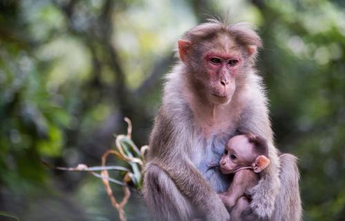 Mother macaque monkey with baby
