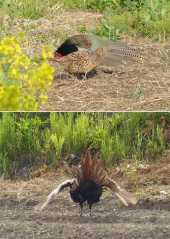 Pheasants showing fan-shaped tail