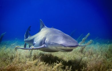 Lemon shark photographed near Bahamas