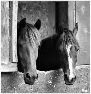Horses Stable Mates Poster