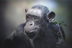 Chimpanzee Jigsaw Puzzle