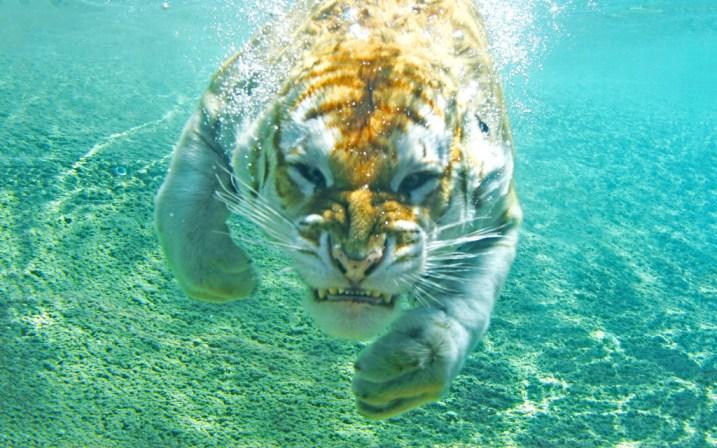 tiger-wallpapers-stugon.com (12)