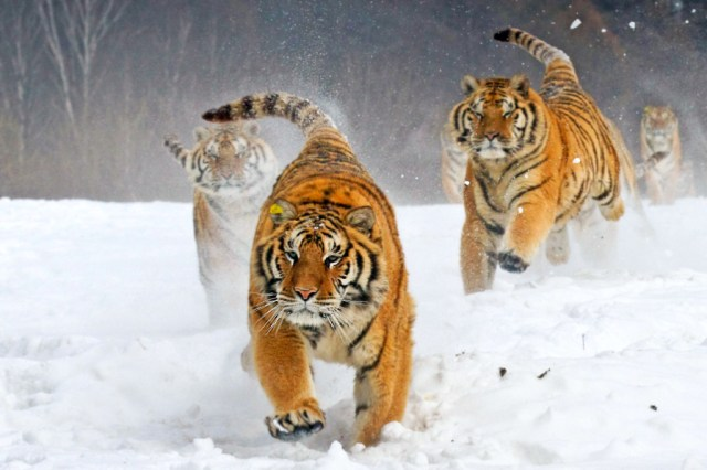 tiger-wallpapers-stugon.com (13)