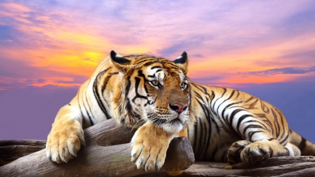 tiger-wallpapers-stugon.com (16)