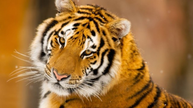 tiger-wallpapers-stugon.com (17)