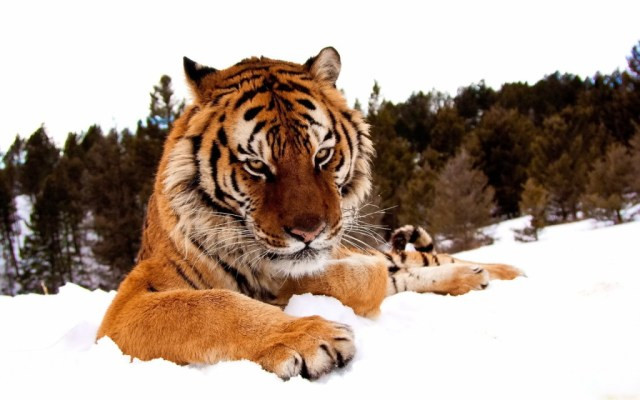 tiger-wallpapers-stugon.com (4)