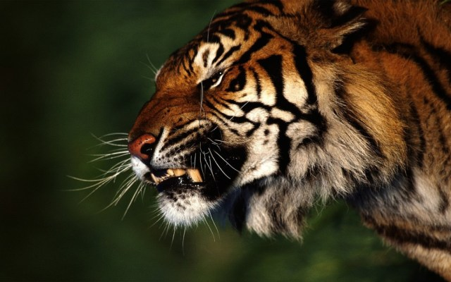tiger-wallpapers-stugon.com (7)