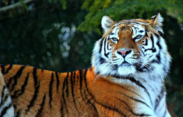 tiger-wallpapers-stugon.com (8)