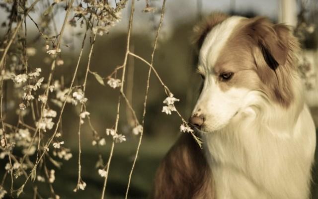 dog-wallpaper-collection-stugon.com (14)