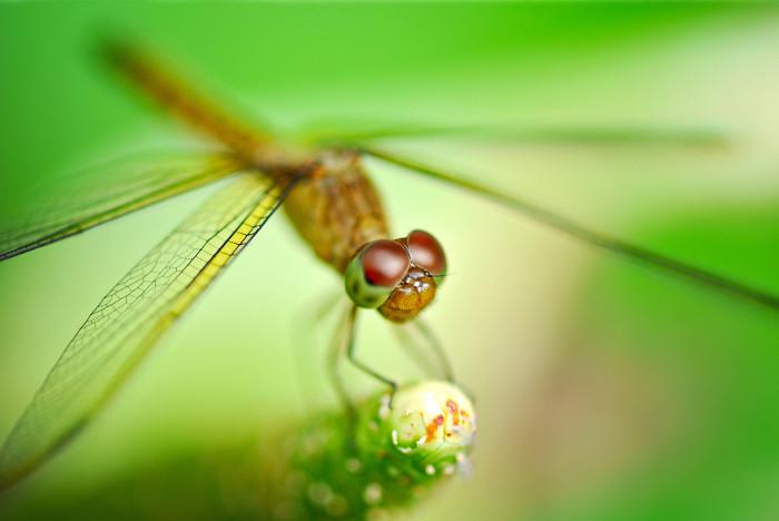 dragonflies-wallpapers-stugon (3)