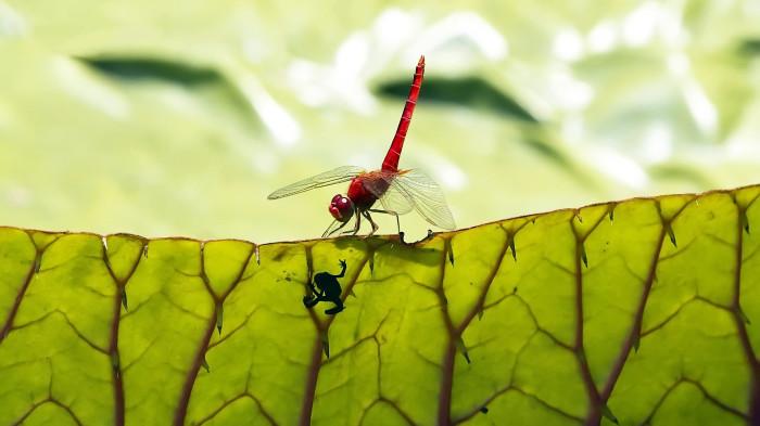 dragonflies-wallpapers-stugon (8)