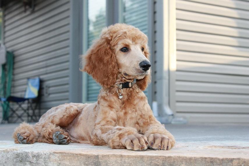 Standard Poodle Colors Goldenacresdogs Com