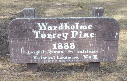 Wardholme Torrey Pine - Carpinteria CA