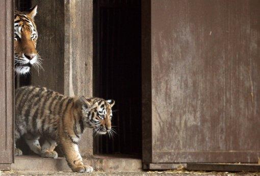 """Ein Tigerbaby spaziert mit seiner Mutter """"Hanya"""" zum ersten Mal in die Außenanlage des Kölner Zoos. """"Jegor"""", """"Mila"""" und """"Finja"""" heißen die drei Sibirischen Tigerjungtiere, die inzwischen drei Monate alt sind. Foto: dpa"""