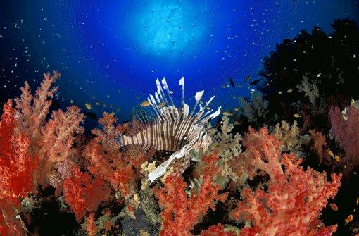 """Rotfeuerfische gelten unter erfahrenen Tauchern wegen ihrer Bevölkerungszahl als """"Pest des Roten Meeres"""". Schön anzuschauen sind sie trotzdem. Foto: Sinai Divers"""