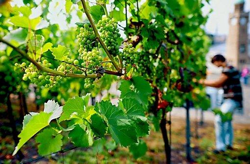 So sieht gesundes Weinlaub aus. Foto: dpa