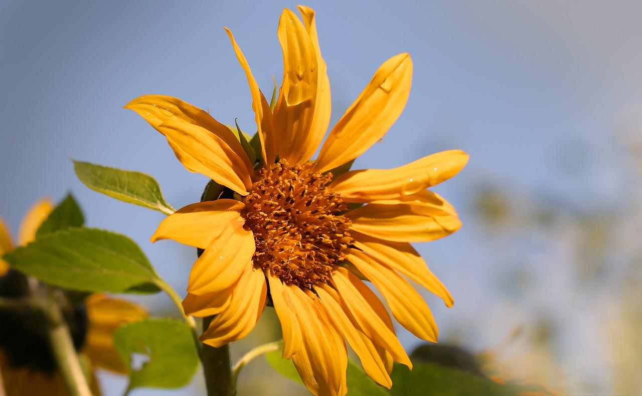 sun-flower-673706_1280