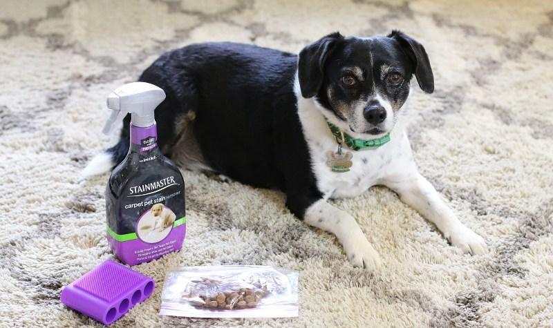 STAINMASTER, Louis beagle dog, white rug, carpet, treats, brush