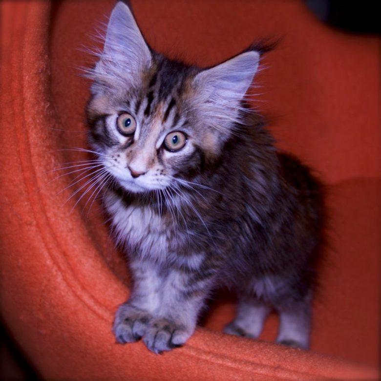 german shepherd, maine coon cat
