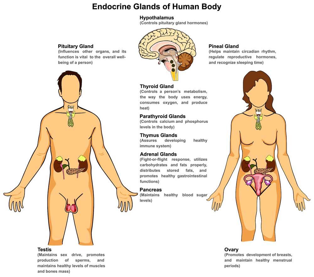 Anatomy-Of-Endocrine-System