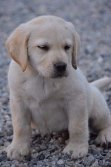 cucciolo labrador stylelabrador