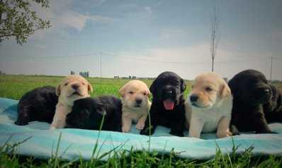 cuccioli biondi labrador