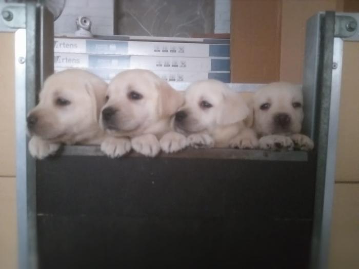 cuccioli biondi di labrador stylelabrador-3